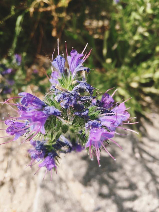 Purple Looseleaf