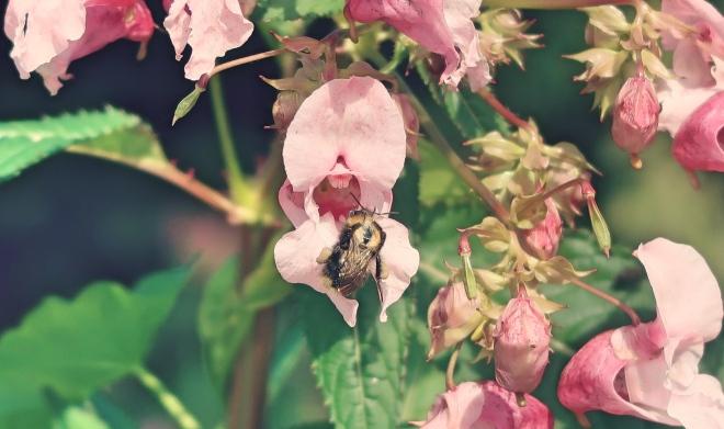 Balsam meets bee