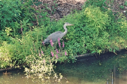 Heron by the pond
